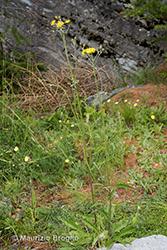 Immagine 1 di 7 - Hieracium maculatum Schrank