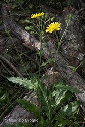 Immagine 1 di 20 - Hieracium amplexicaule L.