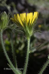 Immagine 5 di 20 - Hieracium amplexicaule L.