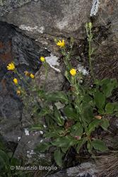 Immagine 7 di 20 - Hieracium amplexicaule L.