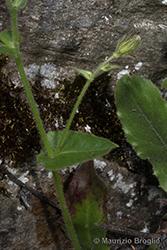 Immagine 9 di 20 - Hieracium amplexicaule L.