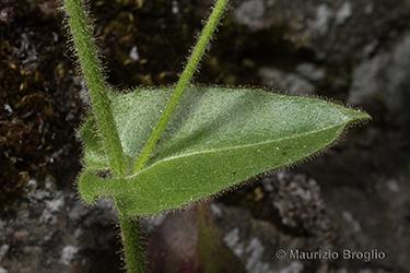 Immagine 10 di 20 - Hieracium amplexicaule L.