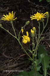 Immagine 14 di 20 - Hieracium amplexicaule L.