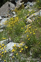 Immagine 15 di 20 - Hieracium amplexicaule L.