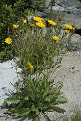 Immagine 16 di 20 - Hieracium amplexicaule L.