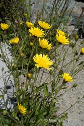 Immagine 18 di 20 - Hieracium amplexicaule L.