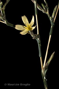 Lactuca viminea (L.) J. Presl & C. Presl