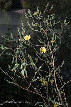 Lactuca sativa subsp. serriola (L.) Galasso, Banfi, Bartolucci & Ardenghi
