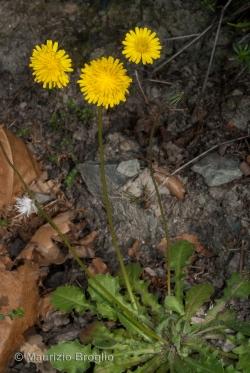 Crepis sancta (L.) Bornm.