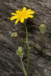 Immagine 4 di 5 - Crepis capillaris (L.) Wallr.