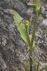 Immagine 5 di 5 - Crepis capillaris (L.) Wallr.