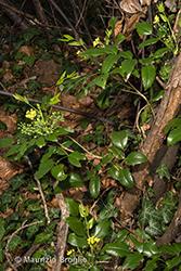 Immagine 1 di 11 - Mahonia aquifolium (Pursh) Nutt.