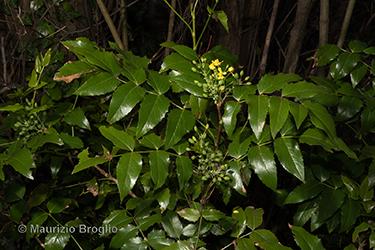 Immagine 2 di 11 - Mahonia aquifolium (Pursh) Nutt.