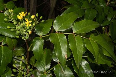 Immagine 3 di 11 - Mahonia aquifolium (Pursh) Nutt.