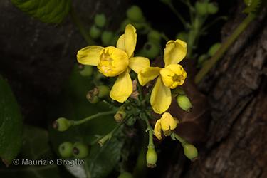 Immagine 6 di 11 - Mahonia aquifolium (Pursh) Nutt.
