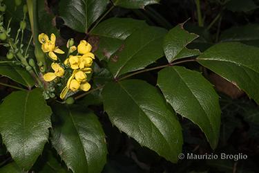 Immagine 7 di 11 - Mahonia aquifolium (Pursh) Nutt.