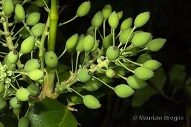 Immagine 8 di 11 - Mahonia aquifolium (Pursh) Nutt.