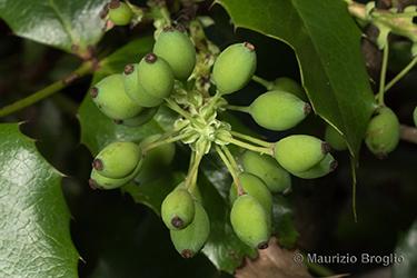 Immagine 9 di 11 - Mahonia aquifolium (Pursh) Nutt.