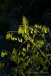Immagine 6 di 7 - Isatis tinctoria L.