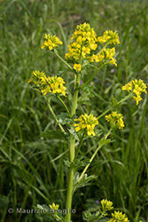 Immagine 1 di 7 - Barbarea vulgaris R. Br.