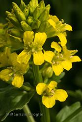 Immagine 3 di 7 - Barbarea vulgaris R. Br.
