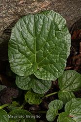 Immagine 5 di 7 - Barbarea vulgaris R. Br.