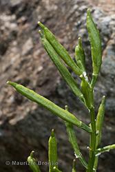 Immagine 7 di 7 - Barbarea vulgaris R. Br.