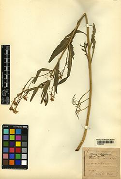 Armoracia rusticana G. Gaertn., B. Mey. & Scherb.
