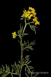 Immagine 4 di 13 - Rorippa sylvestris (L.) Besser