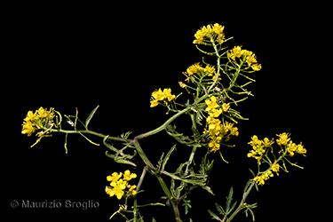 Immagine 5 di 13 - Rorippa sylvestris (L.) Besser
