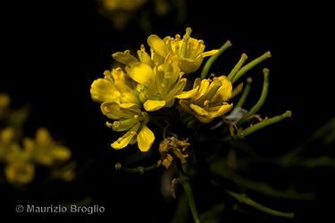 Immagine 6 di 13 - Rorippa sylvestris (L.) Besser