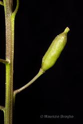 Immagine 13 di 13 - Rorippa sylvestris (L.) Besser