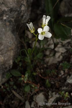 Arabis bellidifolia Crantz