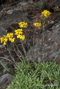 Alyssoides utriculata (L.) Medik.