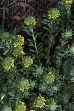 Alyssum alyssoides (L.) L.