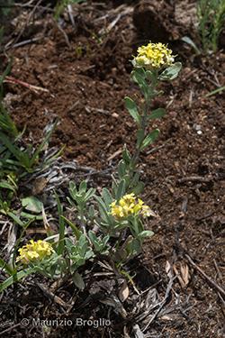Alyssum rossetii Spaniel, Bovio & K. Kaplan