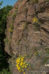 Immagine 1 di 9 - Odontarrhena argentea (All.) Ledeb.