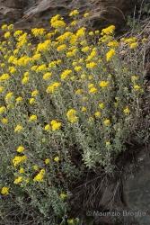 Immagine 3 di 9 - Odontarrhena argentea (All.) Ledeb.