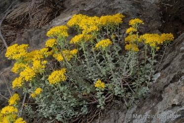 Immagine 4 di 9 - Odontarrhena argentea (All.) Ledeb.