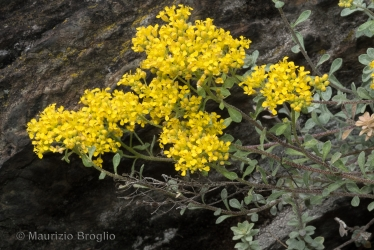 Immagine 5 di 9 - Odontarrhena argentea (All.) Ledeb.