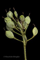 Immagine 7 di 9 - Odontarrhena argentea (All.) Ledeb.