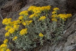 Odontarrhena argentea (All.) Ledeb.