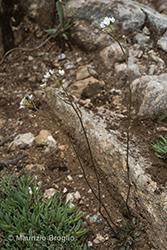 Immagine 1 di 5 - Kernera saxatilis (L.) Sweet