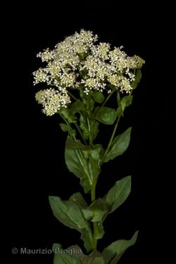 Lepidium draba L.