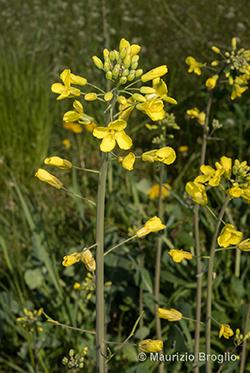 Brassica napus L.