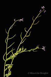 Immagine 1 di 6 - Chorispora tenella (Pall.) DC.