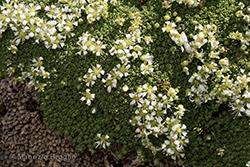 Facchinia herniarioides (Rion) Dillenb. & Kadereit
