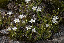 Facchinia lanceolata (All.) Rchb.
