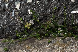 Sagina procumbens L.