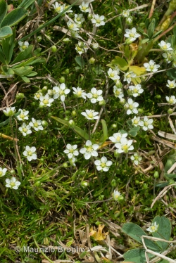 Sagina glabra (Willd.) Fenzl